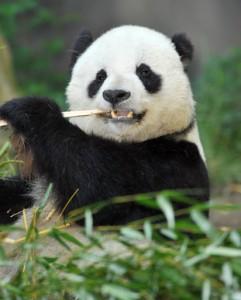Panda som symbol på Googles opdatering